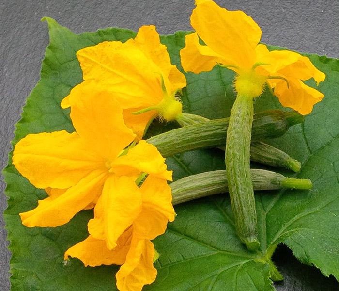 Fleurs de concombre