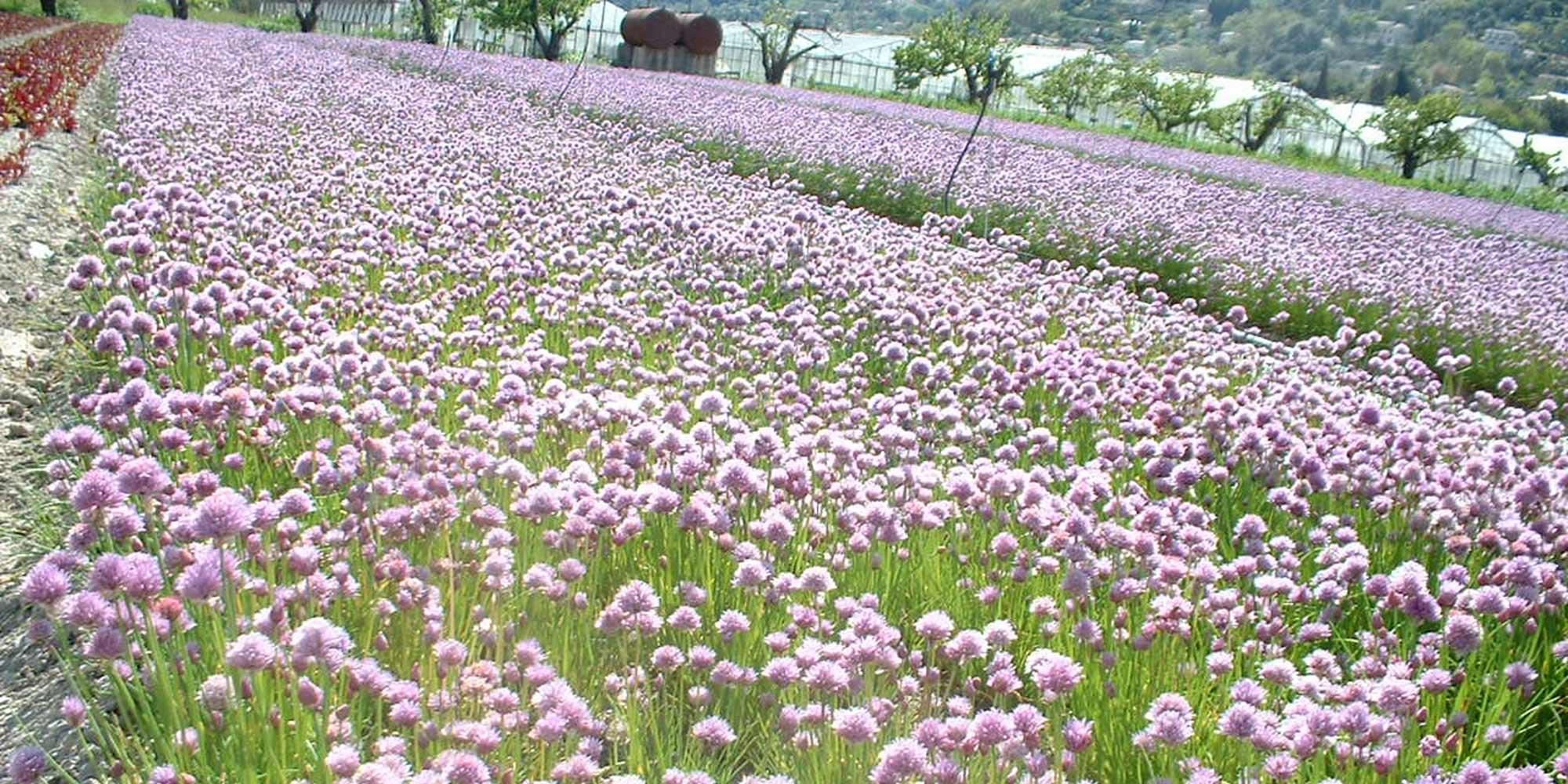 Marius Auda: Jeunes pousses de salade, herbes aromatiques et fleurs comestibles en Pays Niçois depuis 1936